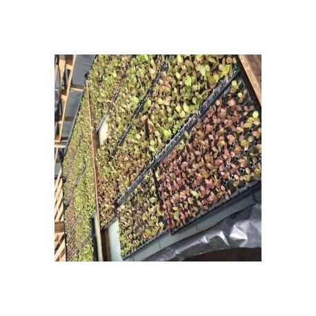 Plantines de Hortalizas