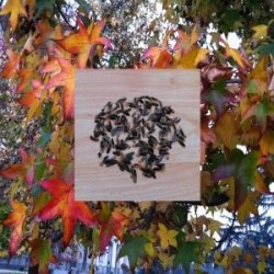 Semillas arbol ornamentales...