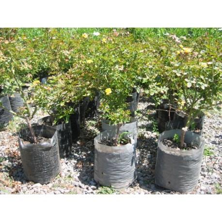 Producción de árboles, arbustos y rosales