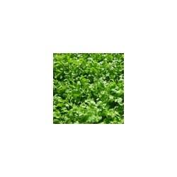 Semillas de cilantro moggiano...