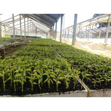 Plantinera prohalca, agricolacabezas, llámenos al  +569 4270 4969