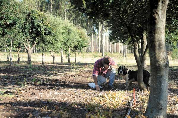 Estacionalidad y altos precios de la trufa negra impulsan nuevos productores en el mundo