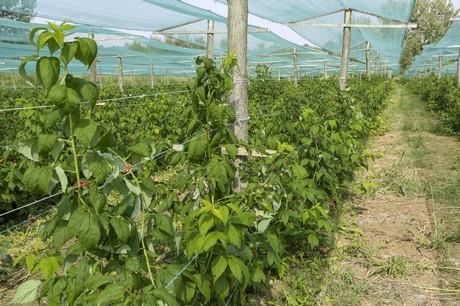4 nuevas variedades de frambuesa para 2018