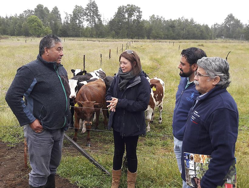 Entregan incentivos a productores que apuestan por crianza de terneros de lechería