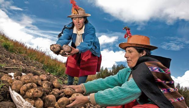 Perú: Un empresario chino quería 300 t de papas nativas al año, pero no encontró producción