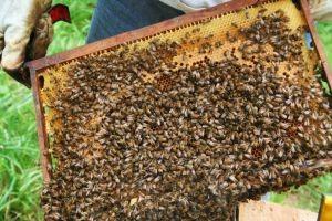 Científicos crean la primera vacuna para abejas del mundo: esperan salvarlas de la extinción