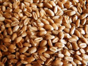 Precio del trigo se eleva 36% en dos años y revierte difícil escenario que afligía al sector