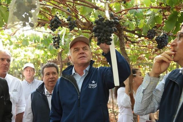 Tres nuevos tipos de uva de mesa nacional se encuentran en proceso de desarrollo para comercialización y exportación