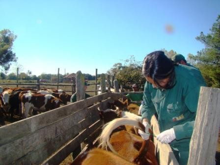 Un total de 13.979 cabezas de ganado bovino se remataron en las regiones de Biobío y Ñuble en marzo